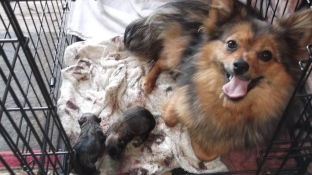 Foxy and two Pomeranian pups